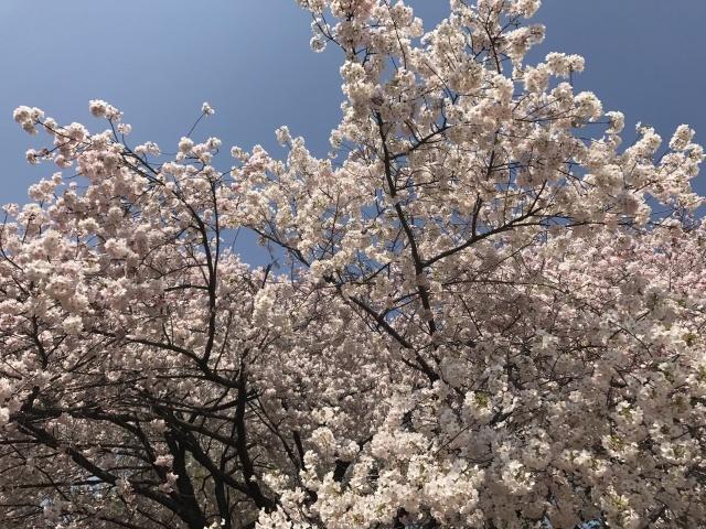 新宿御苑の桜_a0180279_13383626.jpg
