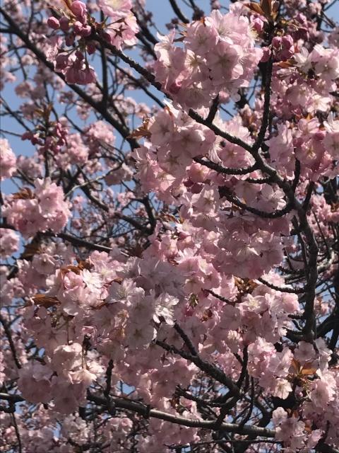 新宿御苑の桜_a0180279_13412503.jpg