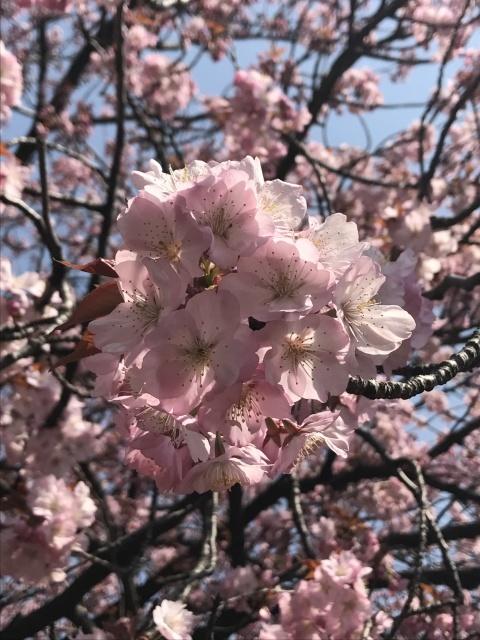 新宿御苑の桜_a0180279_13423704.jpg