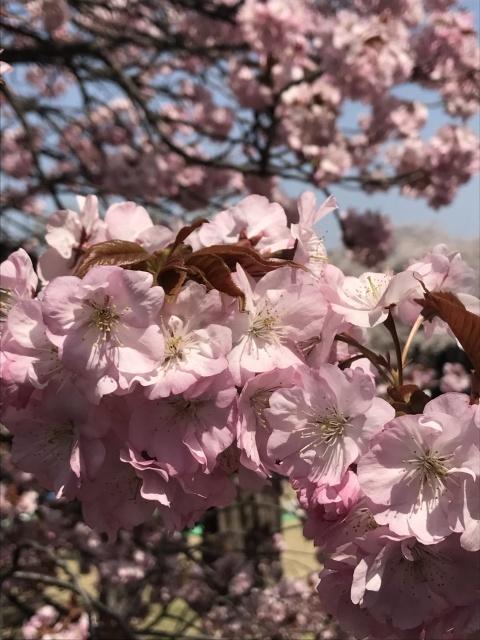 新宿御苑の桜_a0180279_13442005.jpg
