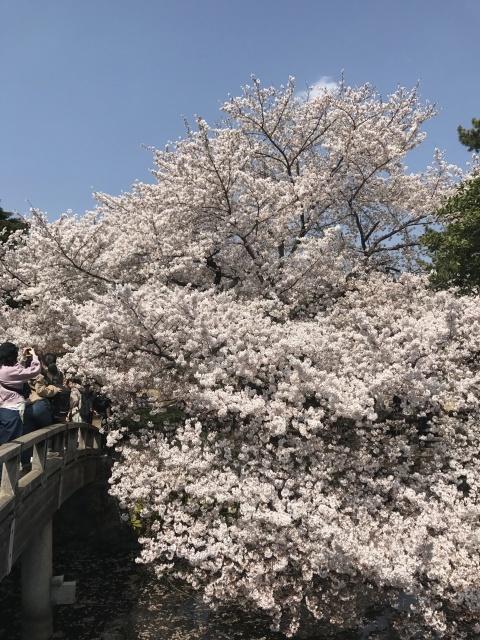 新宿御苑の桜_a0180279_14004316.jpg