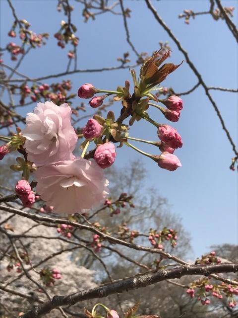 新宿御苑の桜_a0180279_14023349.jpg