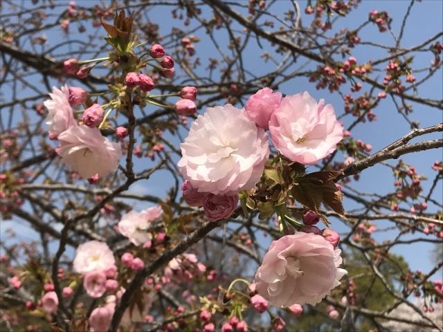 新宿御苑の桜_a0180279_14030777.jpg