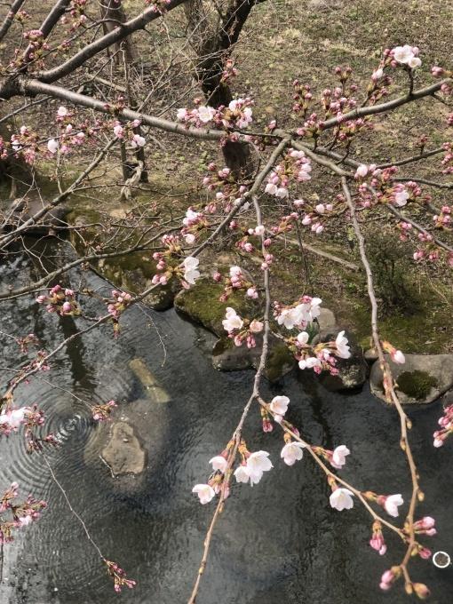桜の花と初物山菜_d0182179_20315868.jpg