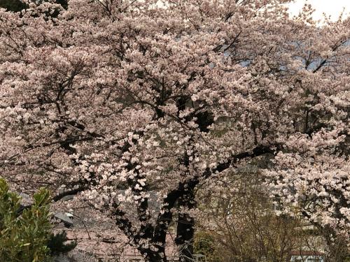 やっと咲きました。予約が、多くなりました。_d0338282_17231143.jpg