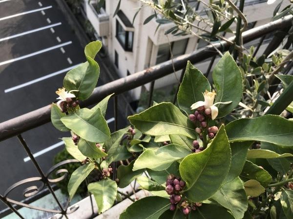 塩レモンを作ります、レモンの花が開きました。_e0397389_16393739.jpeg
