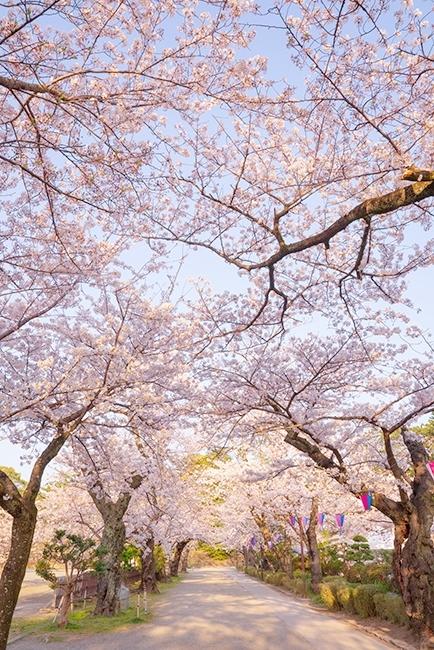 小田原城址公園の桜が満開でした_b0145398_00200283.jpg