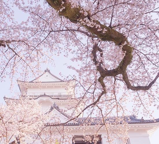 小田原城址公園の桜が満開でした_b0145398_00204595.jpg