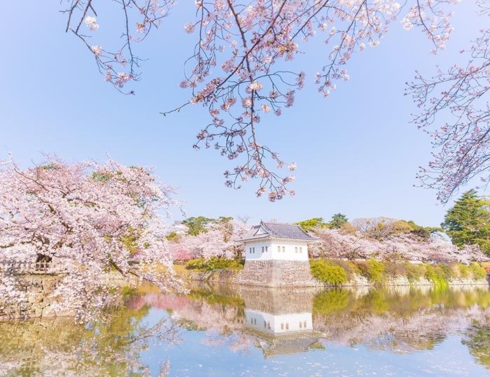 小田原城址公園の桜が満開でした_b0145398_00235270.jpg