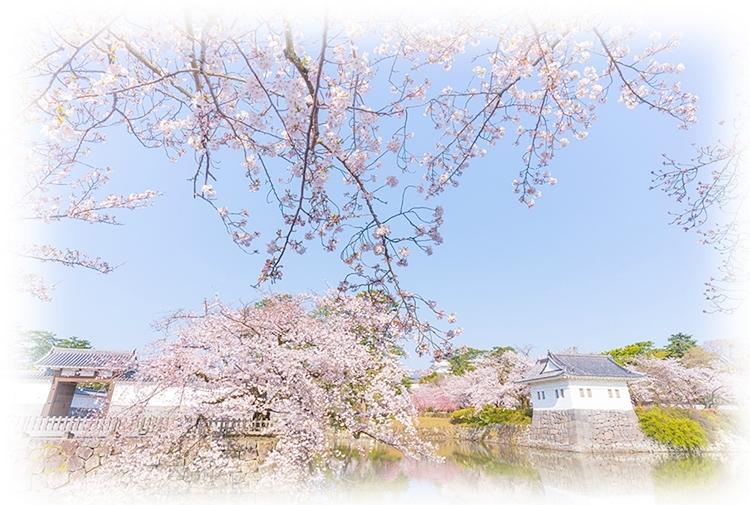 小田原城址公園の桜が満開でした_b0145398_11495507.jpg