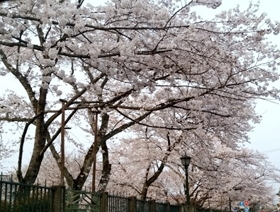 西行桜と 三井の桜_a0236300_11084980.jpg