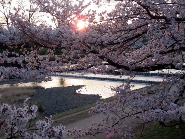 鴨川夕景の桜_e0048413_20552526.jpg