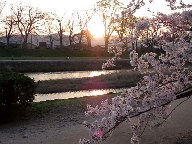 鴨川夕景の桜_e0048413_20552932.jpg