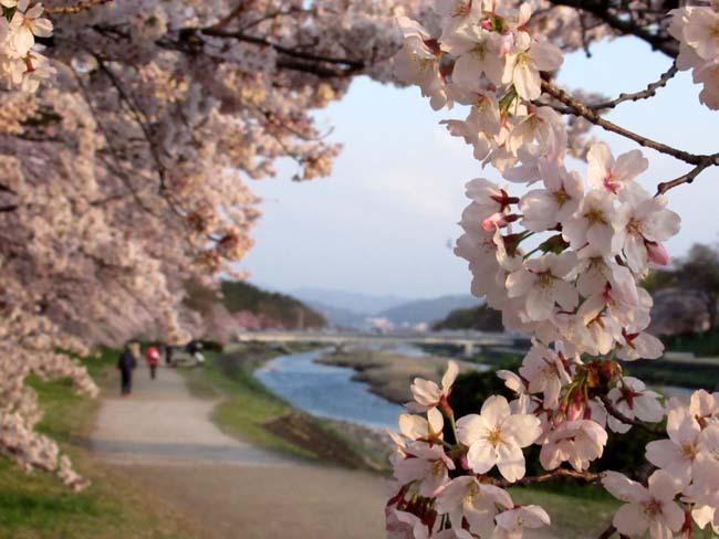 鴨川夕景の桜_e0048413_20553619.jpg