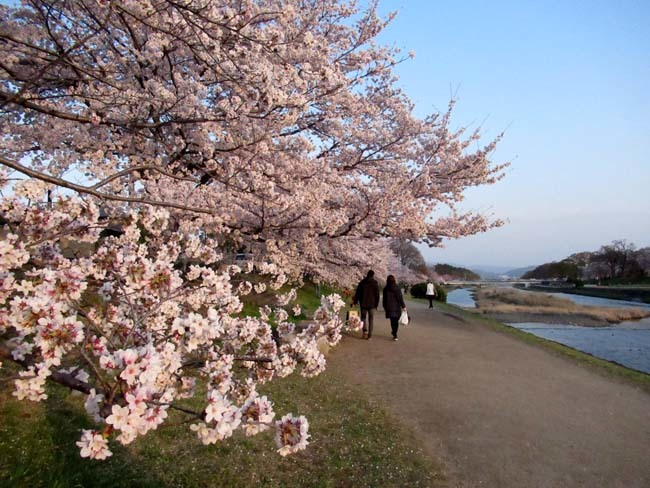 鴨川夕景の桜_e0048413_20554108.jpg