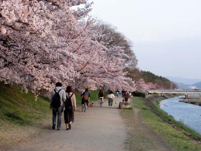 鴨川夕景の桜_e0048413_20554677.jpg