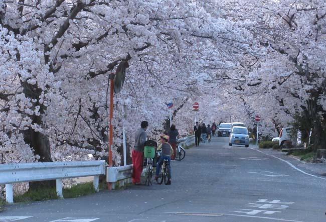 鴨川夕景の桜_e0048413_20555364.jpg