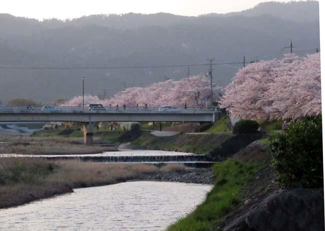 鴨川夕景の桜_e0048413_20555874.jpg