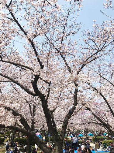 桜_e0251265_19271786.jpg