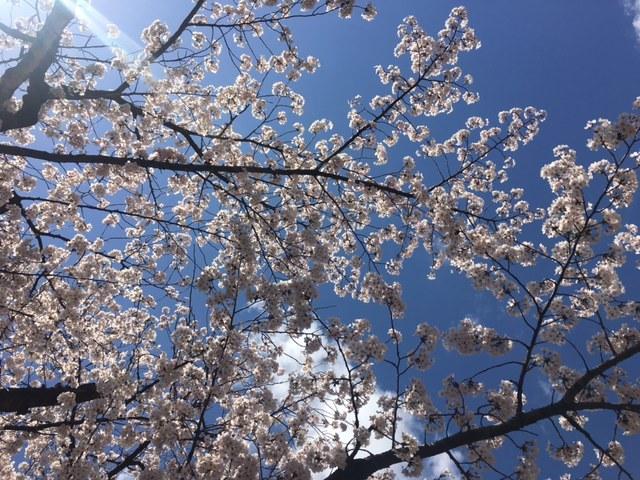 桜が見頃です!_c0225067_14103512.jpg
