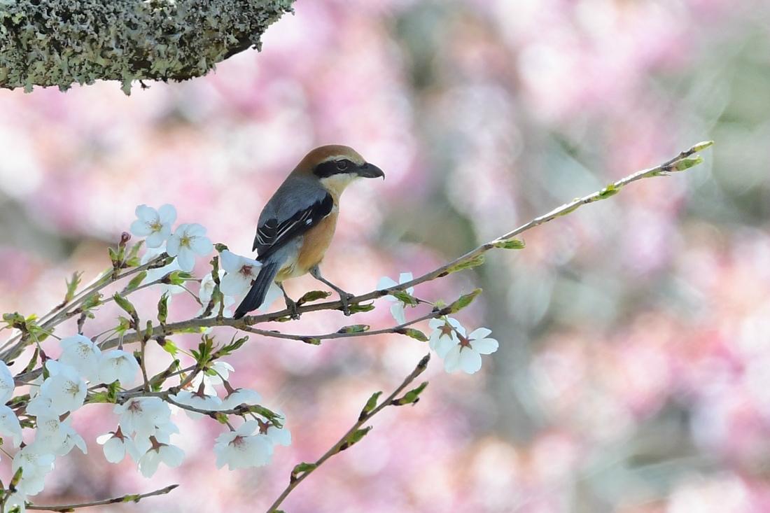 桜にモズ  ベニマシコ  ツバメ _f0053272_22162987.jpg