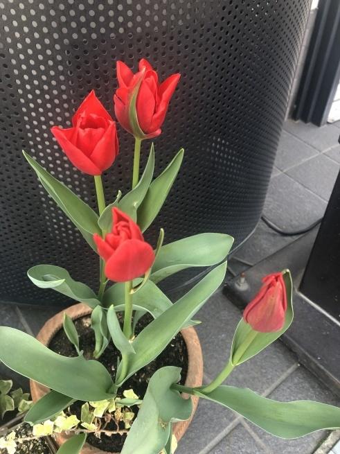 咲いた咲いた❗️赤いチューリップ🌷_f0180576_21453947.jpeg