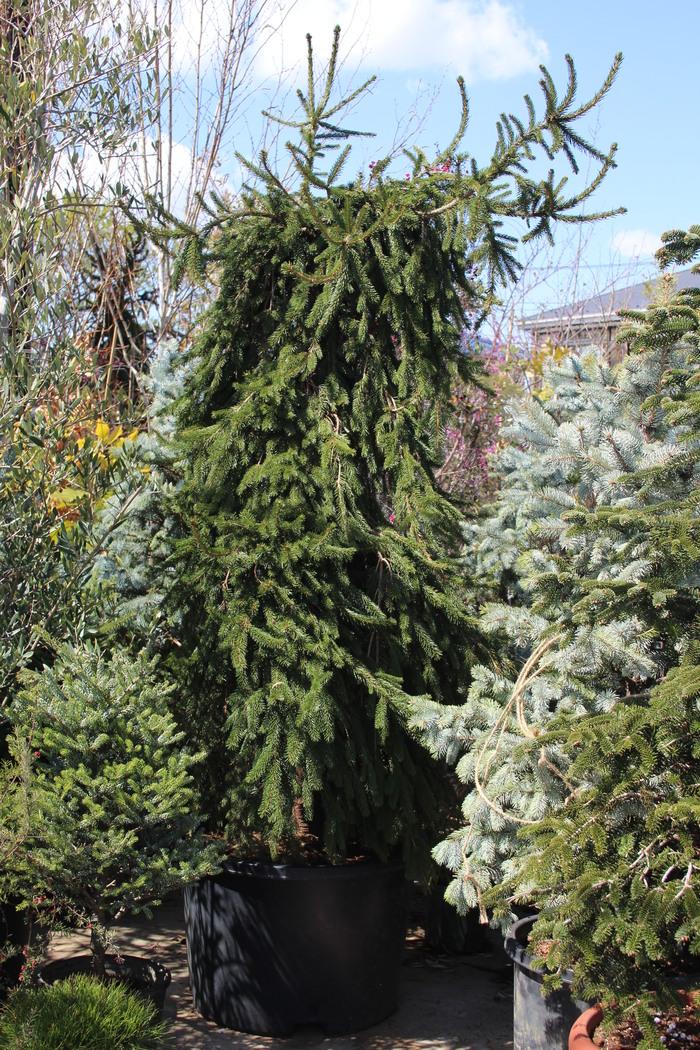 Picea abies 'Pendula' ヨーロッパトウヒ ペンジュラ #ペンジュラ_b0200291_13475259.jpg