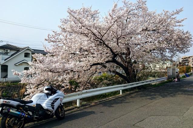 桜が満開です_e0167593_22491842.jpg