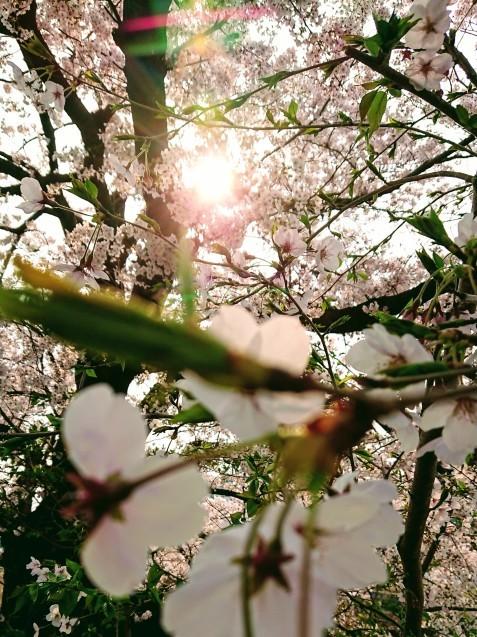 桜が満開です_e0167593_22502422.jpg