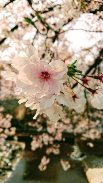 桜が満開です_e0167593_22505372.jpg