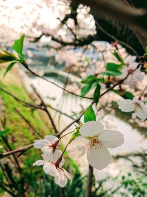 桜が満開です_e0167593_22512122.jpg