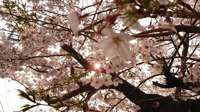 桜が満開です_e0167593_22514499.jpg