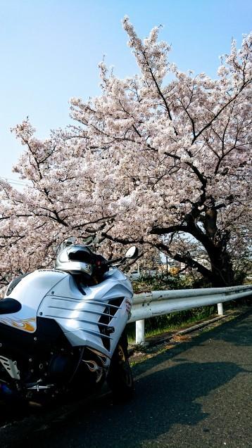 桜が満開です_e0167593_22521211.jpg