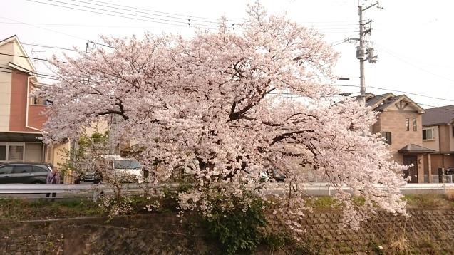 桜が満開です_e0167593_22524694.jpg