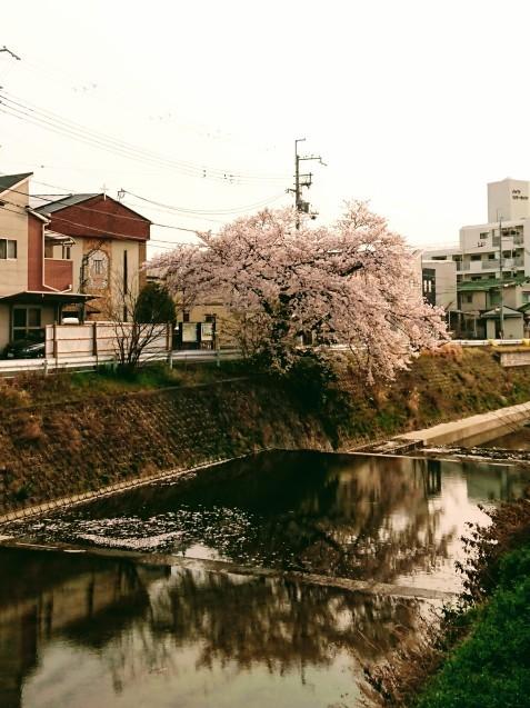 桜が満開です_e0167593_22531748.jpg