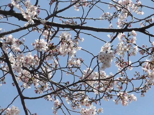 「さくら咲く」 晴天に恵まれ、さらにちょうど満開! 吉原地区さくら祭_f0141310_07393510.jpg