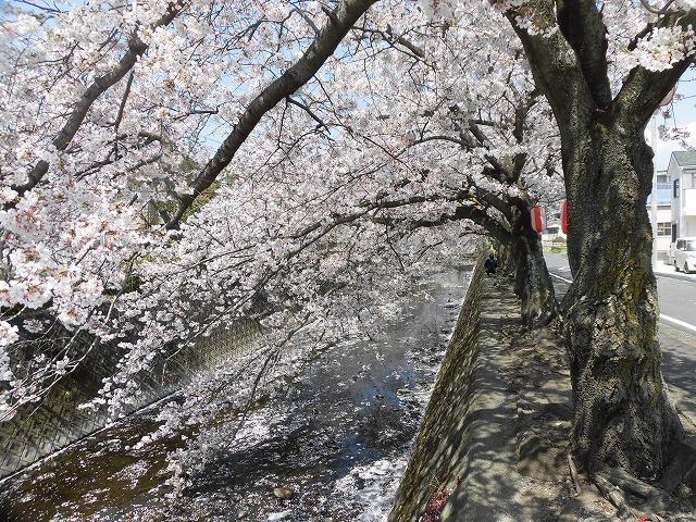 「さくら咲く」 晴天に恵まれ、さらにちょうど満開! 吉原地区さくら祭_f0141310_07394282.jpg