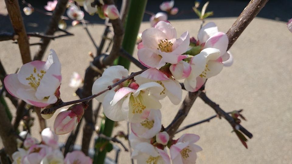 ボケ 咲き分け品種 美樹形品 大型商品_e0202111_20225333.jpg