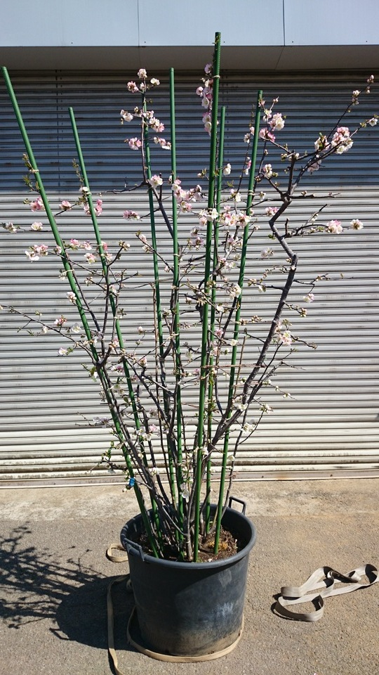 ボケ 咲き分け品種 美樹形品 大型商品_e0202111_20225335.jpg