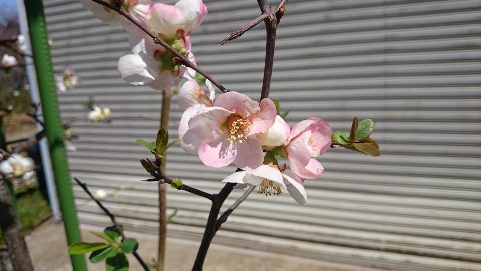 ボケ 咲き分け品種 美樹形品 大型商品_e0202111_20225473.jpg