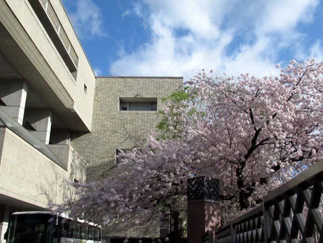 街中で満開 大谷大学あたり_e0048413_21484732.jpg