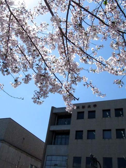 街中で満開 大谷大学あたり_e0048413_22173447.jpg