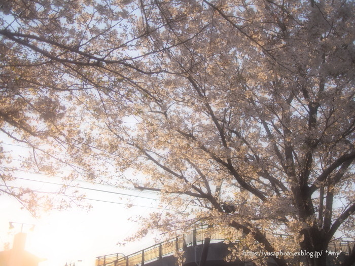 夕焼け桜_e0347431_23421569.jpg
