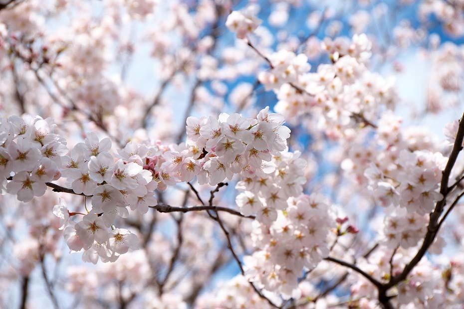 桜便り´19 #5_c0067040_22270080.jpg