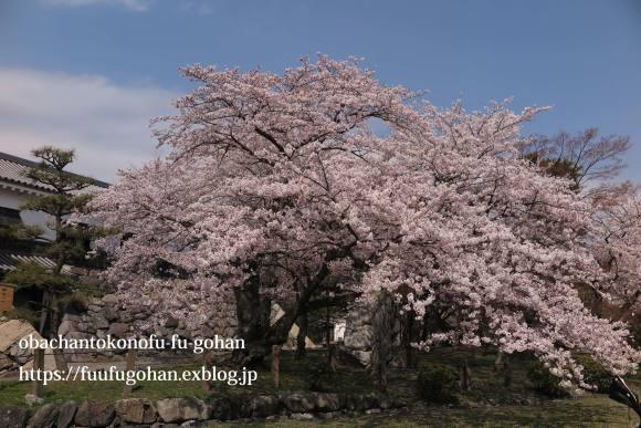 琵琶湖畔の桜散歩&今日の鶏の竜田揚げ弁当_c0326245_10532826.jpg