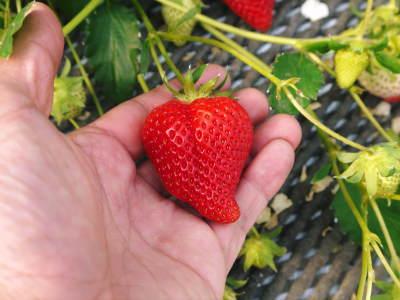 熊本イチゴ『熊紅(ゆうべに)』 美味しさと安全にこだわる朝採りの新鮮イチゴをお届けします!_a0254656_18575283.jpg