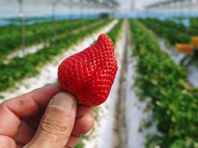 熊本イチゴ『熊紅(ゆうべに)』 美味しさと安全にこだわる朝採りの新鮮イチゴをお届けします!_a0254656_18592305.jpg