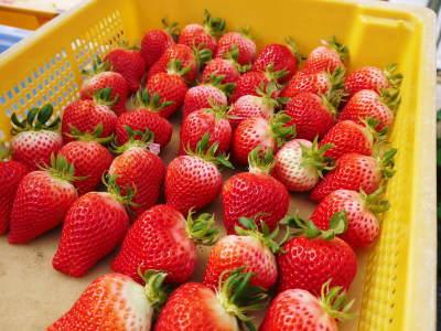 熊本イチゴ『熊紅(ゆうべに)』 美味しさと安全にこだわる朝採りの新鮮イチゴをお届けします!_a0254656_19035291.jpg