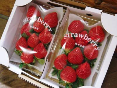 熊本イチゴ『熊紅(ゆうべに)』 美味しさと安全にこだわる朝採りの新鮮イチゴをお届けします!_a0254656_19094592.jpg