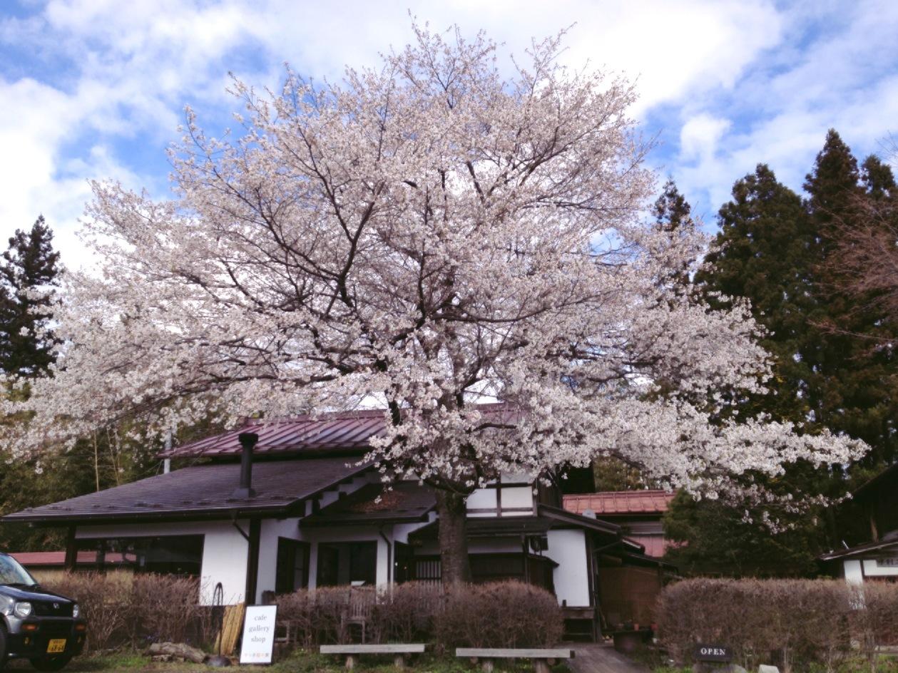 桜が咲き始めています!まだ、ほんのちょっとですが…。_b0183564_22041530.jpg